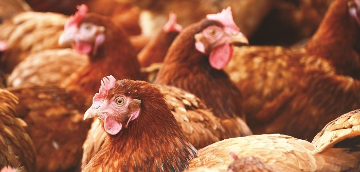 Griffiths Family Farms starts shift to cage-free with two-year research project
